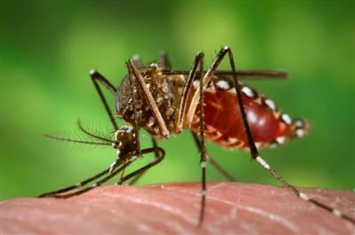 mosquito-que-provoca-chikungunya